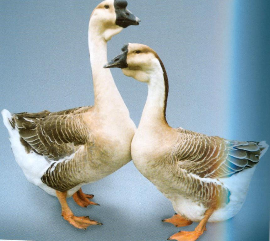 African goose vs chinese goose - photo#20