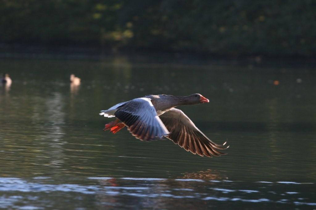 Majestic Waterfowl Sanctuary Newsletter The Majestic